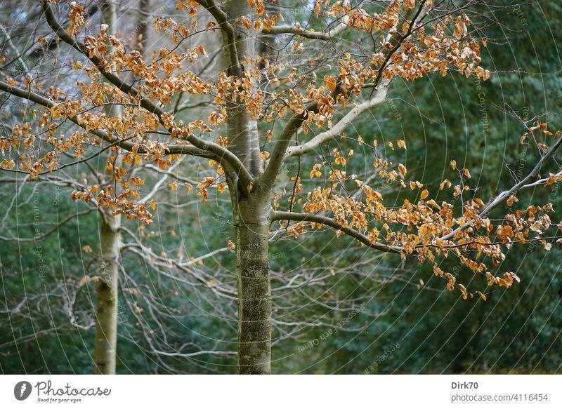 Winterlicher Baum mit braunem Laub Laubbaum Laubwerk Herbstlaub kahl kahler Baum herbstlich Stamm Baumstamm Umwelt Herbstfärbung Blatt Außenaufnahme