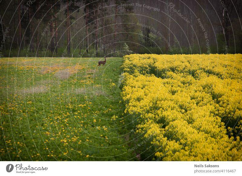 Rapsfeld Hintergrund mit Hirschen Tier Wildtier Reh Außenaufnahme abstrakt Ackerbau schön Biokraftstoff Überstrahlung Blüte blau Cloud Ernte Umwelt