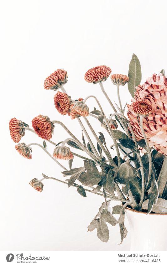 rosa astern Blume Pflanze Zierpflanze schön ruhig flower plant calm quiet grün green still stillleben deko interior interieur neutral frei Objektfotografie
