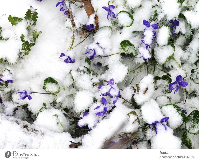 Veilchen im Schnee Duftveilchen Balkon Terrasse Blüte blühen Frühling April Blätter