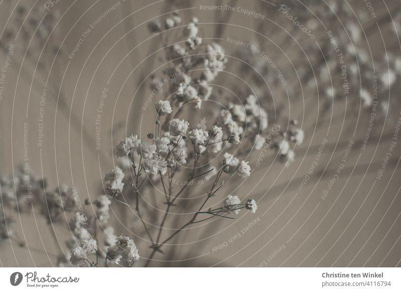 Schleierkraut Blüte Pflanze Blume ästhetisch hell Lebensfreude Gedeckte Farben Romantik Unschärfe Treue Liebe Warmherzigkeit Sympathie natürlich Fröhlichkeit