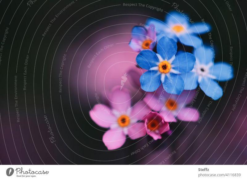 Vergissmeinnicht in blau und rosa Myosotis Blütezeit Mai romantisch heimisch Anmut Romantik Vergißmeinnichtblüte vergiss mich nicht vergessen werden