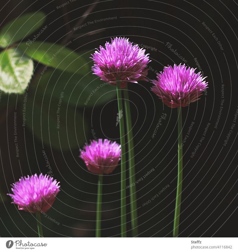Schnittlauch im Licht und Schatten blühender Schnittlauch Schnittlauchblüten Allium heimisch heimische Natur heimische Pflanzen Allium schoenoprasum Blütezeit