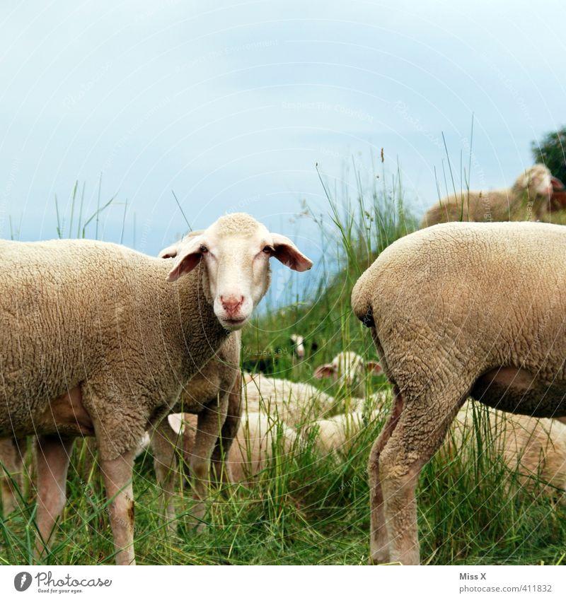Gesicht am A... Tier Wiese Gras Feld Tiergruppe Hinterteil Schaf Fressen Nutztier Herde Schafherde Schaffell stinkend Heidschnucke