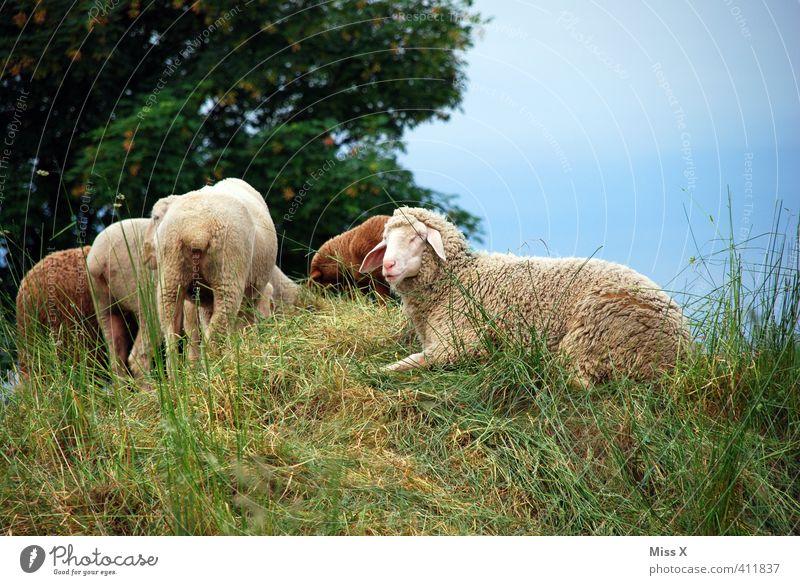 Schäfchen Wiese Feld Nutztier Herde Fressen liegen Schaf Schafherde Schaffell Schäfer Hügel Weide weiden Farbfoto Außenaufnahme Menschenleer Textfreiraum oben
