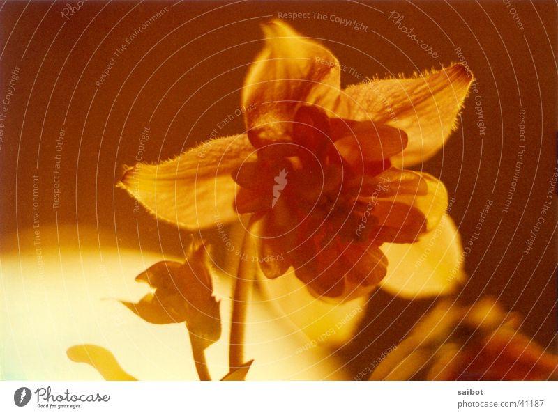 Feuerblume Blume Blüte