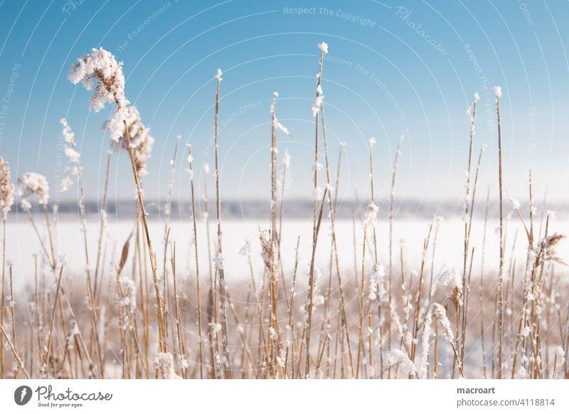 Schilf am Wallendorfer See im Winter schilf gräser schnee eis wallendorfer see eisfläche gefroren 2020 natur blauer himmel kälte sachsen anhalt