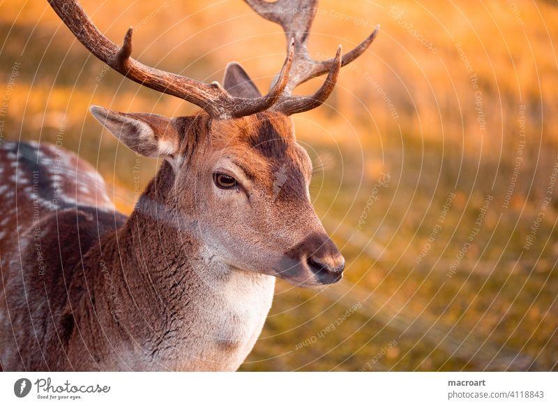 Hirsch in Abendsonne wildtier sonnenlicht dännerung geweih bast natur gefangenschaft wald portrait tierportrait