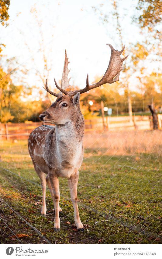 Hirsch in Abendsonne wildtier sonnenlicht dännerung geweih bast natur gefangenschaft wald