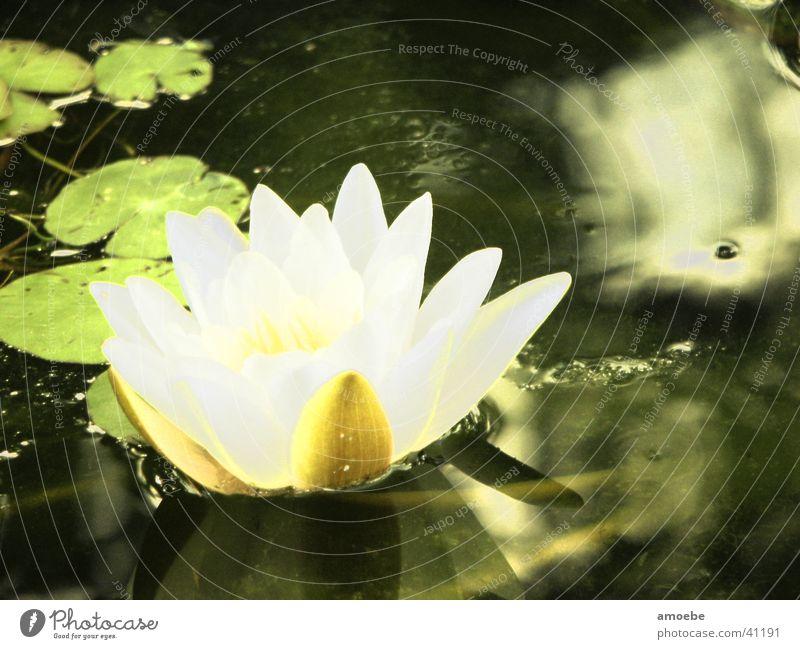 Seerose Natur Wasser Teich Wasserpflanze Seerosen