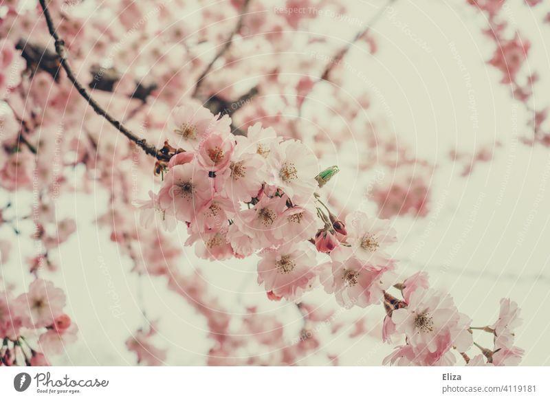 Apfelblüten in zartrosa Apfelbaum blühend Frühling pastell Blühend Natur Blüte Baum Zweige Äste Tag floral
