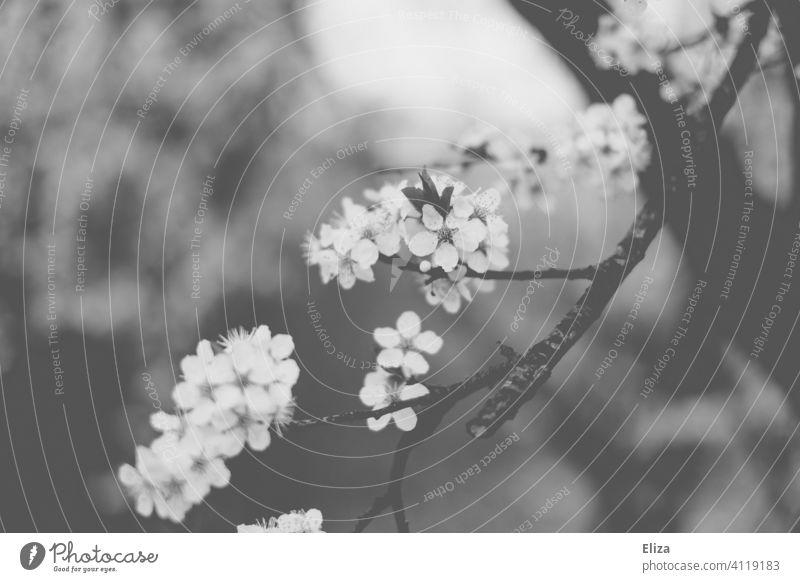 Apfelblüten in schwarzweiß Apfelbaum blühend Frühling pastell zart Blühend Natur Blüte Baum Zweige Äste Tag floral