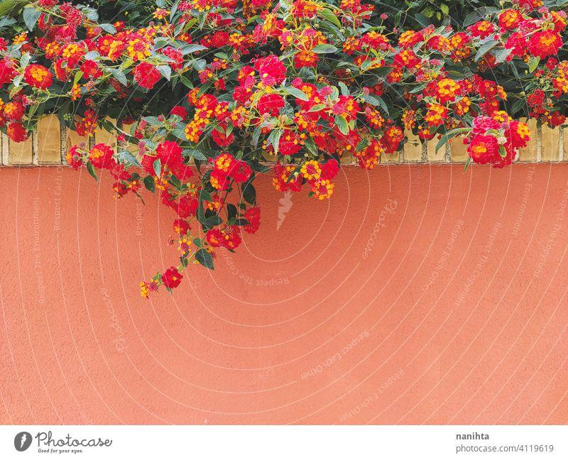 Rote und orangefarbene Lantana, die in einer Hauswand aufwächst Pflanze mediterran Dekor Sommer wachsen Aufwachsen Sommerzeit Frühling rot gelb grün Garten