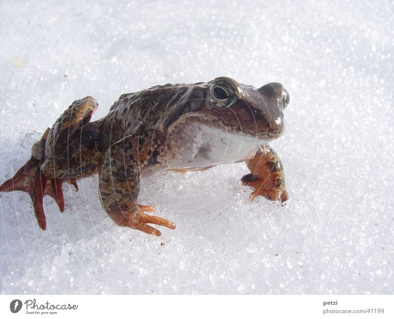 Frosch im Schnee kalt Schnee Glätte unterwegs Frosch