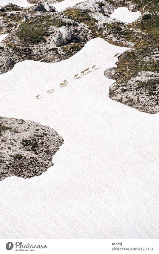 Objektiv | betrachtet. Montagmorgen. Schichtbeginn. Mühselig und stumpfsinnig trotten die Schafe dem Leittier hinterher. Auch über Eis und Schnee. Auf der Suche nach neuen Weidegründen.