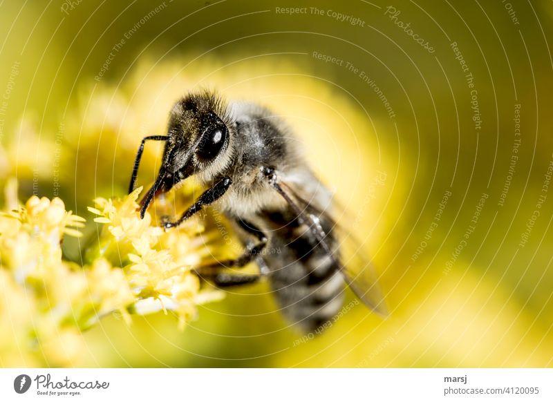 Eine fleißige Wildbiene startet mit viel Eifer in die neue Woche Insekt befruchten Tierportrait Facettenaugen Nahrungsquelle Natur Pflanze Blüte Farbfoto