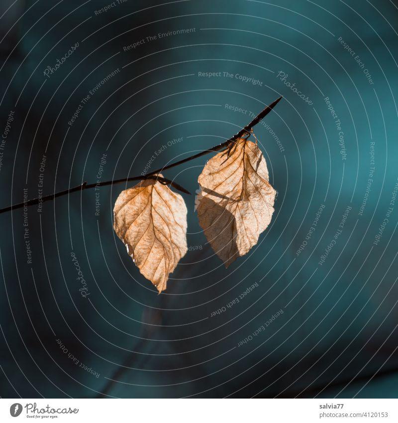 welke Buchenblätter leuchten im Gegenlicht Herbst Blätter Vergänglichkeit Natur Herbstfärbung Wandel & Veränderung herbstlich Herbstlaub Menschenleer