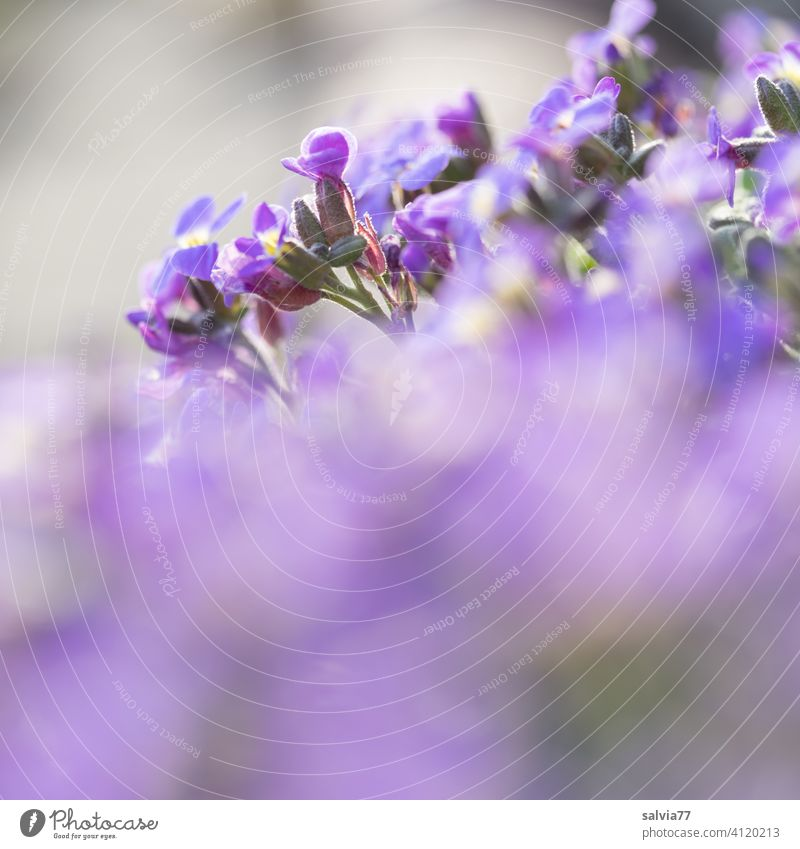 lila Blüten mit viel Unschärfe Blumen violett Natur pink Blühend Frühling Garten Schwache Tiefenschärfe Sommer Pflanze Duft Textfreiraum unten natürlich