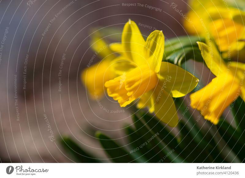 Leuchtend gelbe Narzisse Menschengruppe braun Blume Frühling saisonbedingt Saison Pflanze Blatt Überstrahlung Garten Gartenarbeit frisch Frische Textfreiraum