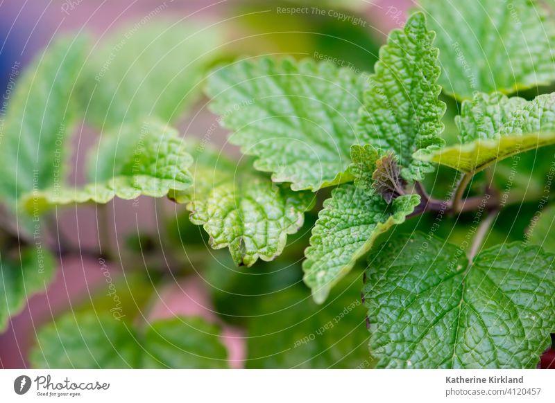 Zitronenmelisse-Blätter Melisse Kraut Kräuterbuch Blatt Gartenarbeit grün medizinisch Medizin Geschmack Gewürz Aromastoff Pflanze wachsen wachsend Wachstum