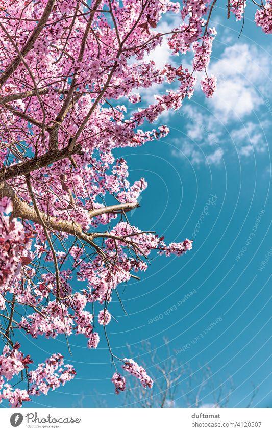 Baum mit rosa Kirschblüten vor blauem Himmel Blauer Himmel Frühling Hanami Natur Blüte Pflanze Blühend Außenaufnahme Frühlingsgefühle Garten Duft Schönes Wetter