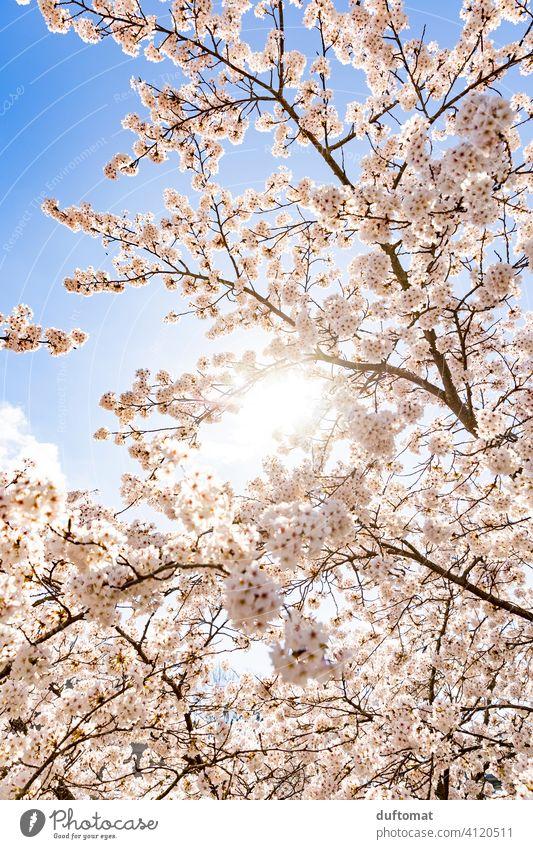 Baum mit weißen Blüten vor blauem Himmel Kirschblüte Blauer Himmel Frühling Hanami Natur Pflanze Blühend Kirschblüten Außenaufnahme Frühlingsgefühle Garten Duft