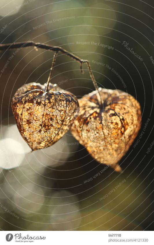 Lampionblume zu sehen Reste der vertrockneten Blütenhülle im Gegenlicht Physalis alkekengi Nachtschattengewächs netzartig Lichtpunkte vergänglich braunbeige