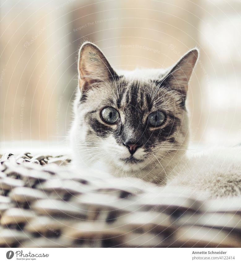 Katze Siam katze Rassekatze Fell fluffig Ein Tier Haustiere bezaubernd Porträt niedlich schön Siamkatze blaue Augen
