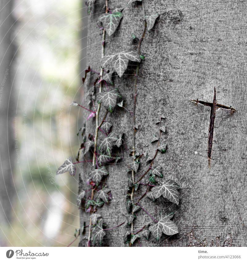 Lebensbrüche | verwundet vom Kreuz baum efeu kreuz riss narbe baumstamm rinde kerbe missbrauch verletzung gräulich verletzt geritzt Mal Zeichen buche