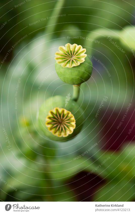 Mohnsamen Köpfe Mohnblumen Papaver Samen Hülse Kopf grün Natur natürlich Sommer Frühling Saison saisonbedingt Garten Gartenarbeit Feld Wiese Opium Medizin
