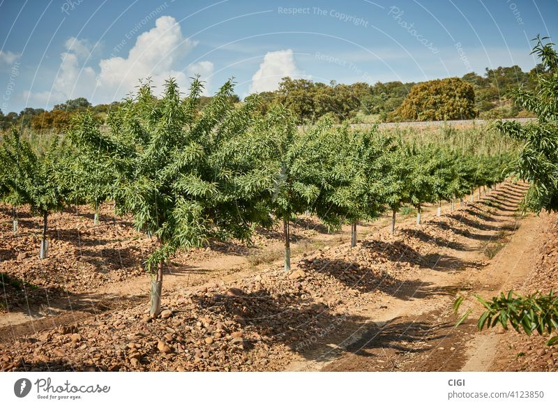 Pflanzung und Anbau von Mandelbäumen im Frühjahr natürlich Lebensmittel organisch Gesundheit Nut Blatt Samen Snack Frucht Nahaufnahme Hintergrund frisch Kernel