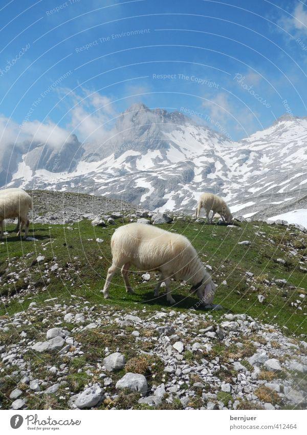 A sheep called Reinhold Himmel Natur blau grün Pflanze Sommer Landschaft Wolken Tier kalt Berge u. Gebirge Schnee Gras Stein natürlich Luft