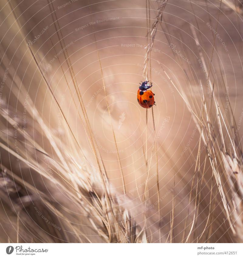 steil nach oben Käfer Marienkäfer 1 Tier braun rot Glück Farbfoto Außenaufnahme Menschenleer Licht