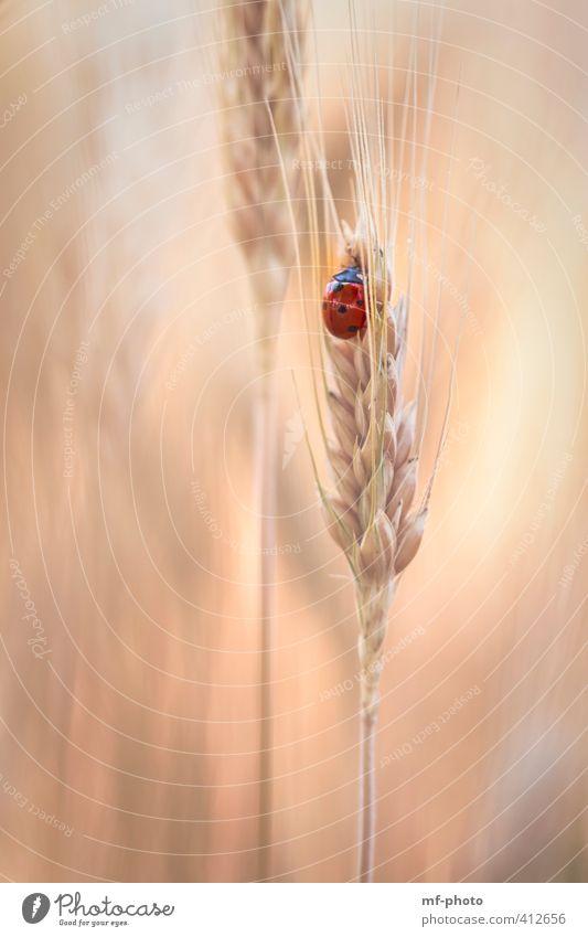 Ein Platz im Kornfeld Pflanze Sommer rot Tier orange Feld gold Käfer Marienkäfer