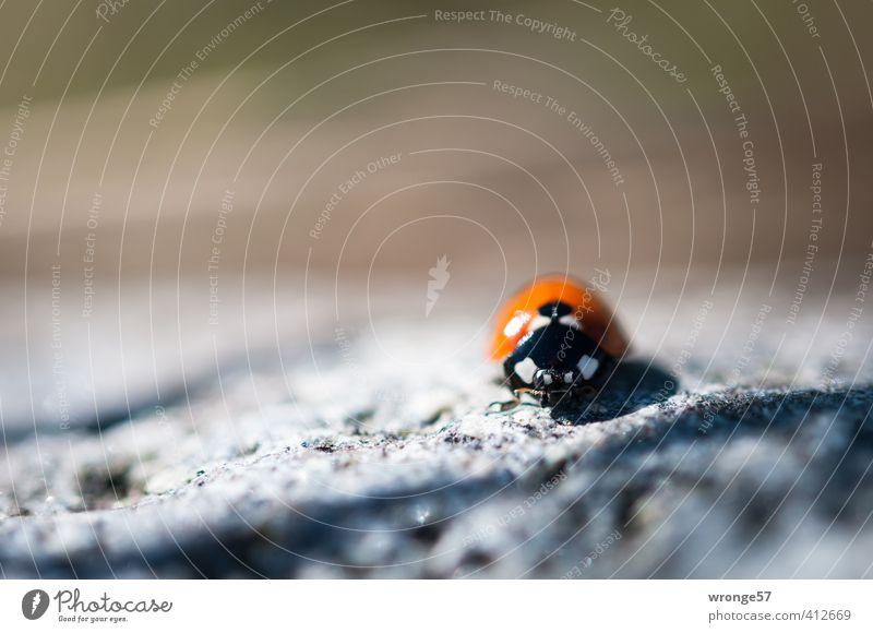 Glückskäfer Natur weiß Sommer rot Tier schwarz klein braun Wildtier Insekt Käfer krabbeln Marienkäfer winzig