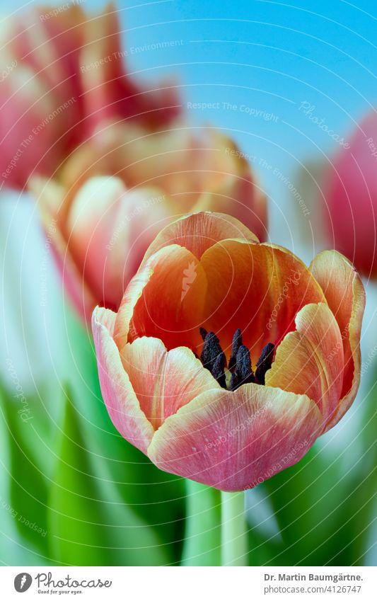 Blühende Gartentulpen Tulpen Tulpenhybride Tulipa Hybride Frühling Frühjahr Liliaceae Liliengewächse rot gelb Zwiebelblume Pflanze Blume Blüte Nahaufnahme