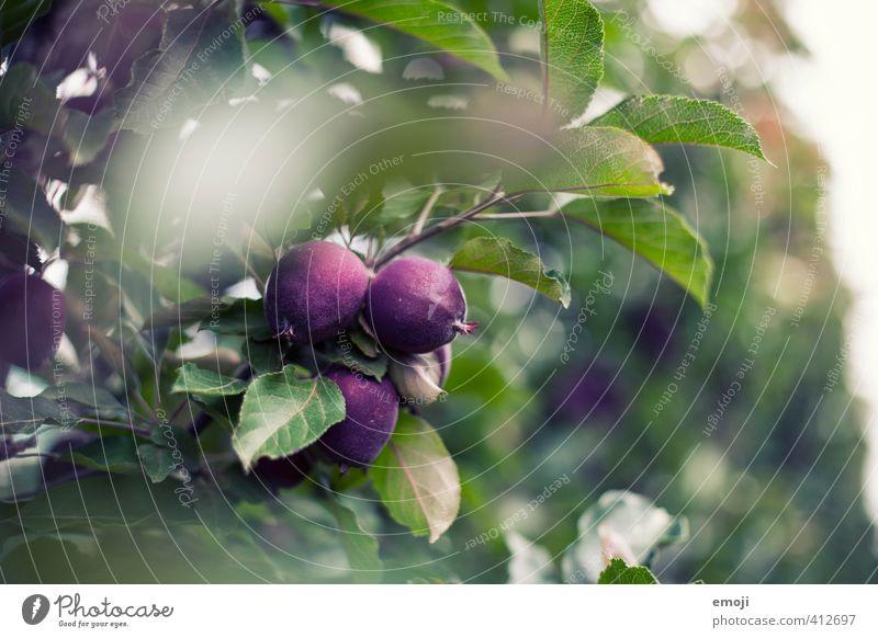 lila Äpfel Natur grün Pflanze Baum Umwelt natürlich Frucht violett Nutzpflanze