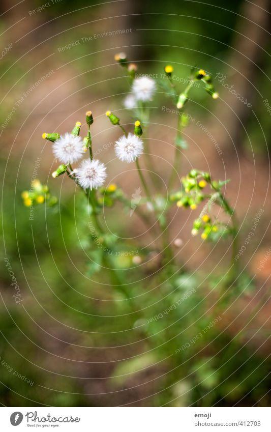 entfalten Umwelt Natur Pflanze Blume Sträucher Blüte natürlich grün Farbfoto Außenaufnahme Nahaufnahme Makroaufnahme Menschenleer Tag