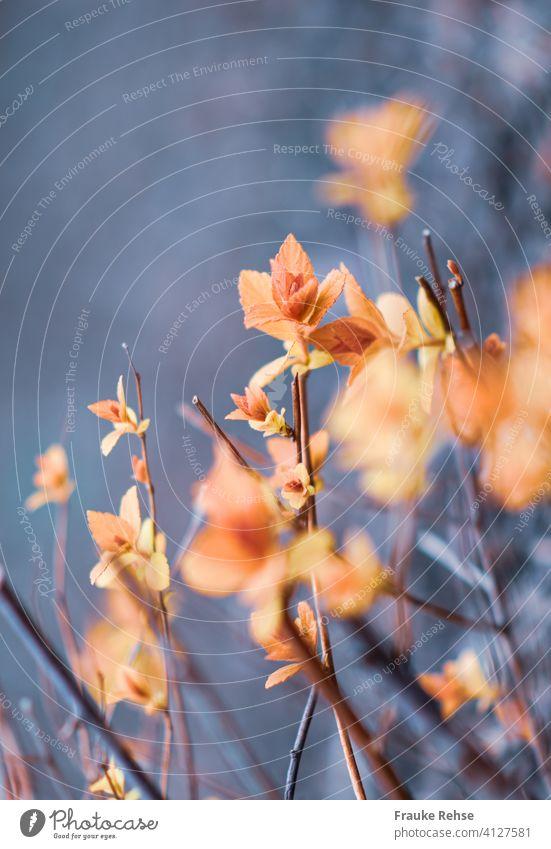 Zarte neue Blätter im Frühjahr austreiben frische Blätter rot rosa orange Natur Frühling Saison Blütenknospen Pflanze filigran Schwache Tiefenschärfe