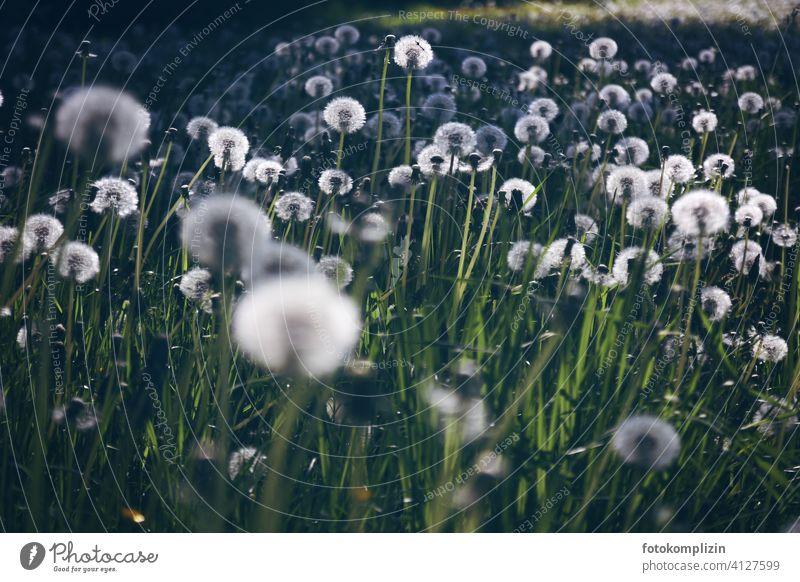 ein leuchtendes Pusteblumen-Wiese Löwenzahn Löwenzahnfeld weiß zart frisch Naturliebe filigran romantisch Idylle weiss übersät Ökologie Blumenwiese wiesenblume
