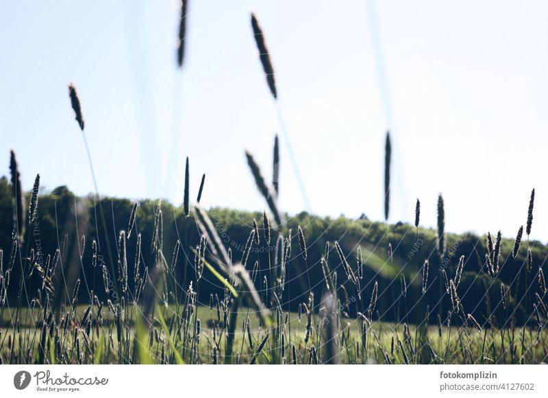 Grashalme Halme Ähren Wiese Pflanze Stengel beweglich zart rispe sensibel sanft weich rispen federartig flimmer Rauschen Weide Sommer grün Wind von unten