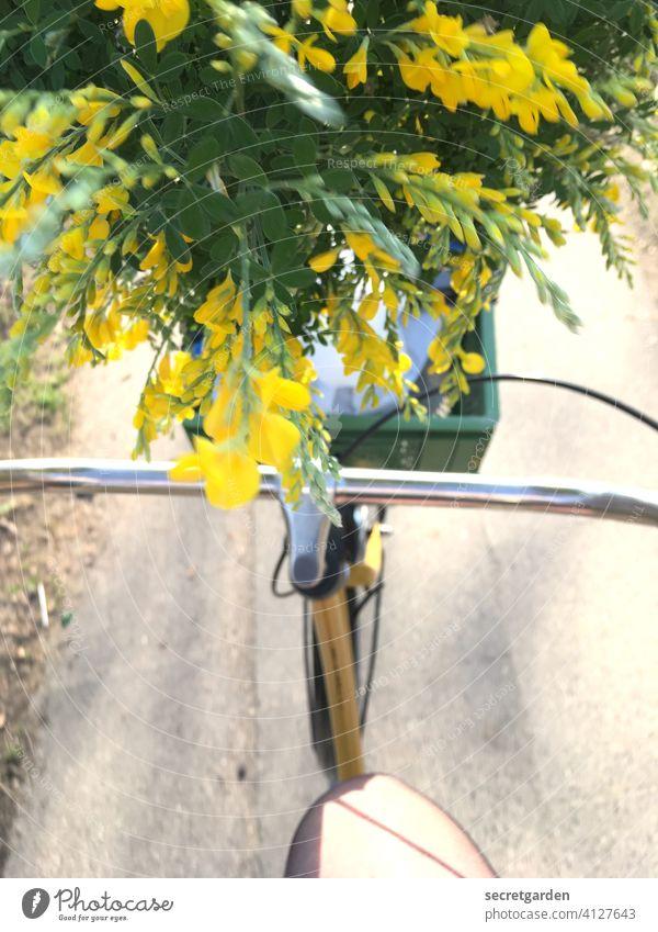 Der übermütige Ginster ist gar nicht finster. hollandrad Ginsterblüte Blume Fahrrad Fahrradfahren Fahrradlenker Fahrradtour Außenaufnahme Farbfoto fröhlich