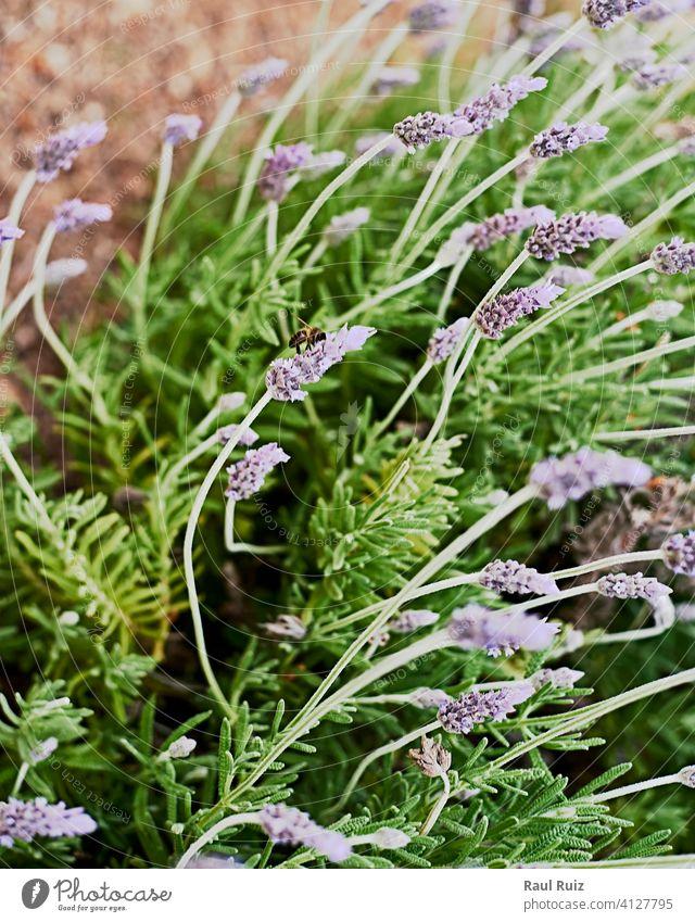 Biene auf lila Blumen violett Arbeit Farben Duft Kosmetik Medizin Sonnenschein Honigbiene Duftwasser purpur Stich fliegen horizontal Fotografie keine Menschen