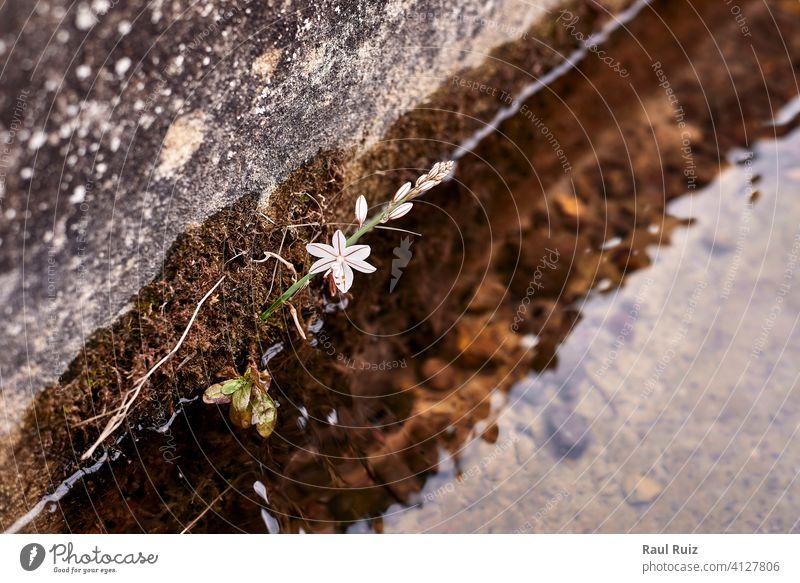 Eine weiße Blume in einem Bewässerungsgraben außerhalb wachsen hoch Pflanzen vertikal Blumen Kraut invasiv mediterran rosa Knolle Ackerbau Garten asphodel