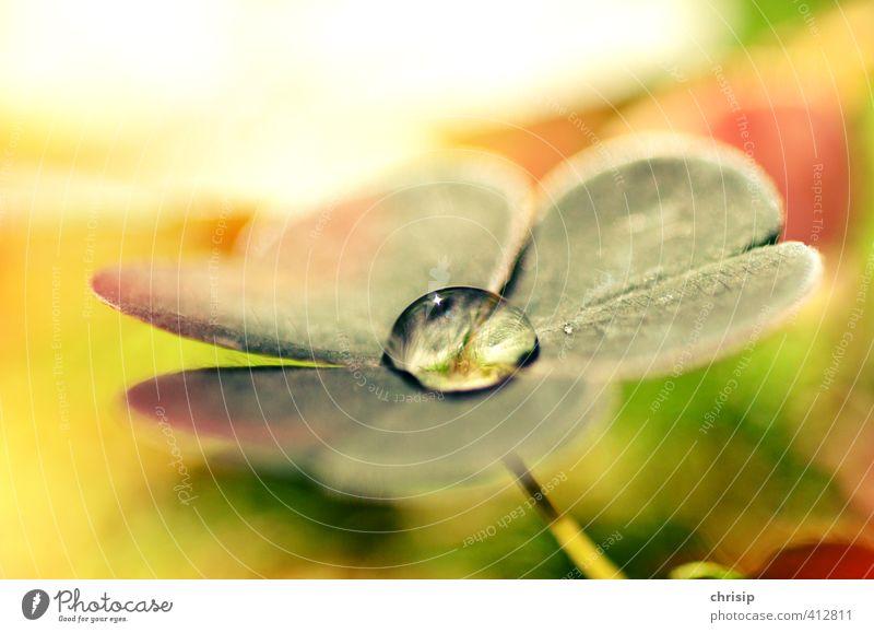 glücklicher Wassertropfen Umwelt Natur Pflanze Sonnenlicht Schönes Wetter Blume Gras Blatt Grünpflanze Kleeblatt Wiese Glück nass gelb gold grün rot weiß