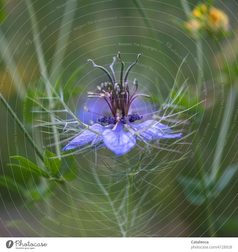 Blüte des Echten Schwarzkümmels Flora Natur Blume Hahnenfußgewächs Ranunculaceae Nigella sativa Echter Schwarzkümmel Blatt Stiel blühen verblühen Sommer Wiese