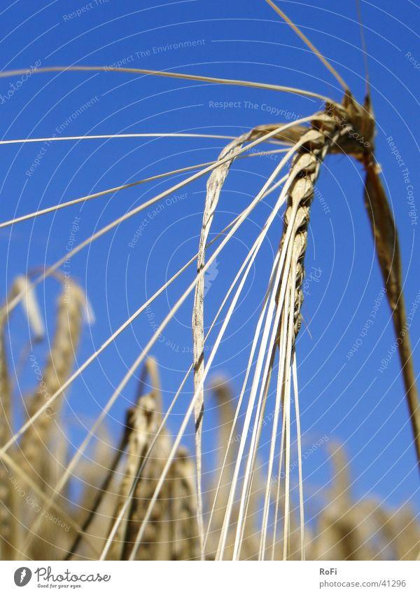 Gerstenähre (glaub ich) Sommer Ackerbau Physik Landwirtschaft Ähren Pflanze Getreide Sonne Wärme Korn