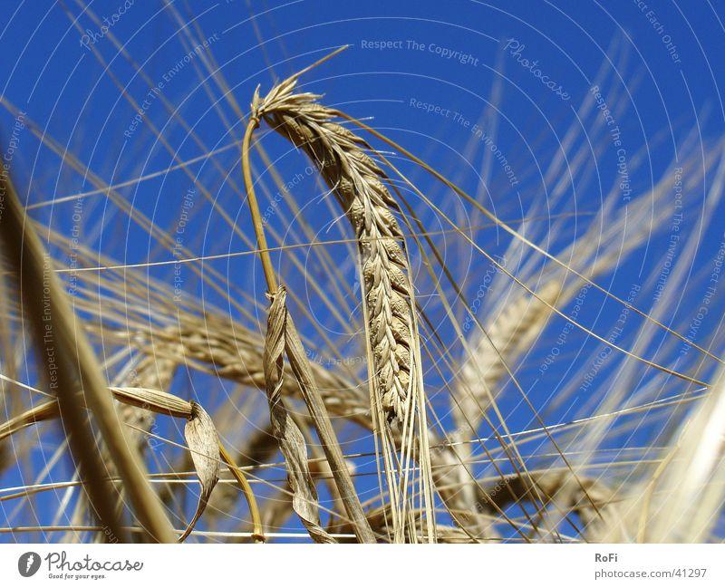 Im Getreidefeld Sonne Pflanze Sommer Wärme Physik Getreide Landwirtschaft Korn Ackerbau Ähren Gerste