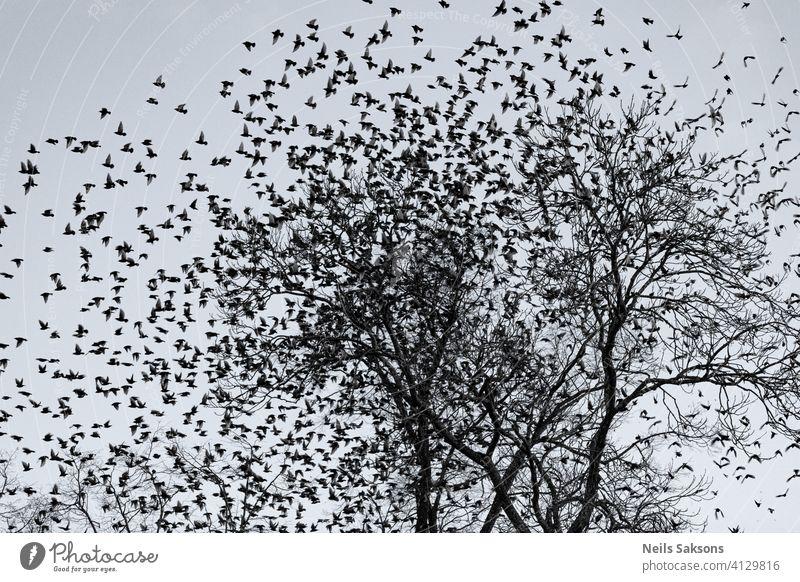 Starauflauf erstaunlich Tier Tiere in der Wildnis Hintergrund schön Schönheit Vogel schwarz blau Cloud Dekoration & Verzierung Design Abenddämmerung Feder Flug