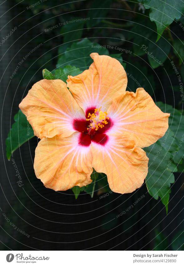 Tropische Hibiskusblüte mit Blattwerk Blüte Orange Rot Blume grün Natur nature Tropen tropisch Blütenkranz Blätter anpflanzen Gärtner grüner Daumen Topfpflanze